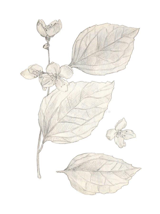 白色上分离的茉莉花手绘铅笔图 库存照片