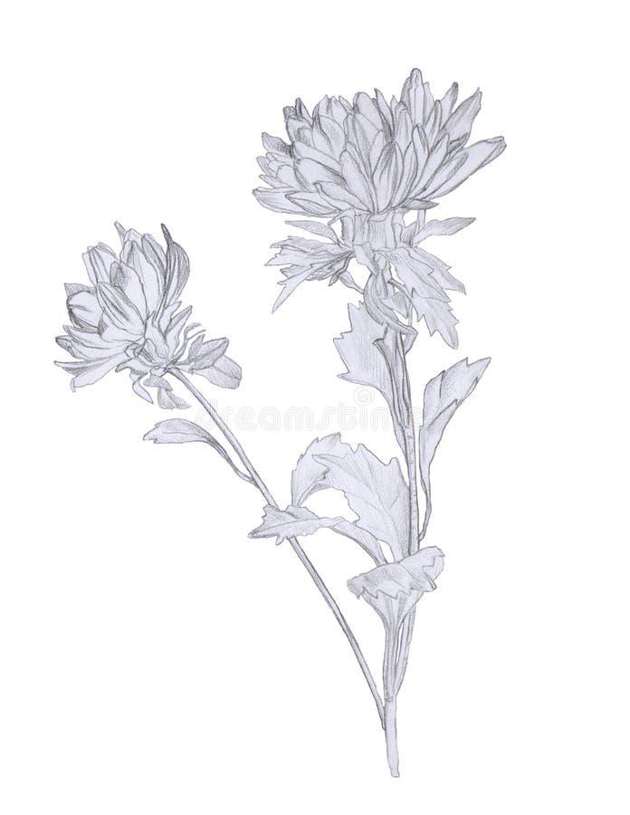 白色上隔离的紫菀花手绘铅笔图 库存图片