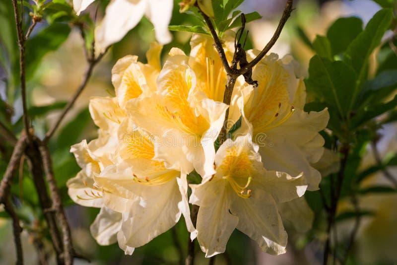 白色与橙色和黄色在rhododenrons托儿所飞溅杜鹃花,豪华的绽放 库存照片