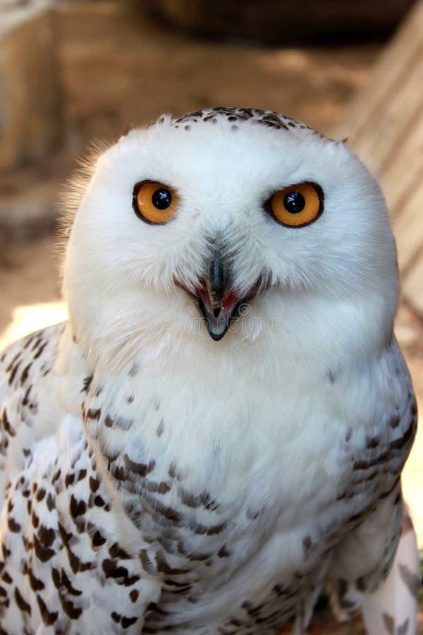 白色与黄色眼睛的雪极性猫头鹰,垂直的看法画象  库存照片