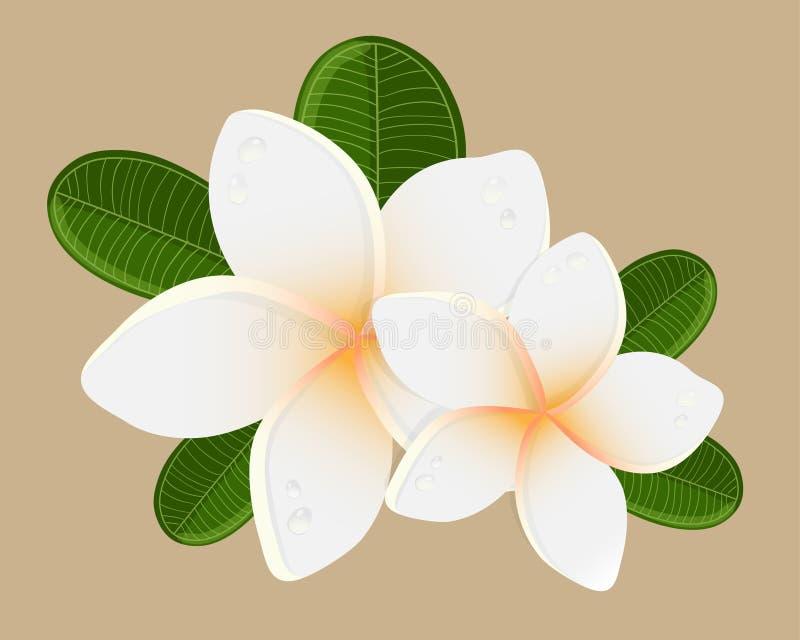 Download 白色两赤素馨花花的传染媒介例证 库存例证. 插画 包括有 言情, 开花, almeda, 露水, 徽标, brander - 62533106