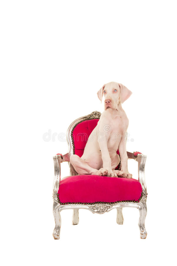 白色丹麦种大狗小狗坐一把桃红色经典椅子 图库摄影