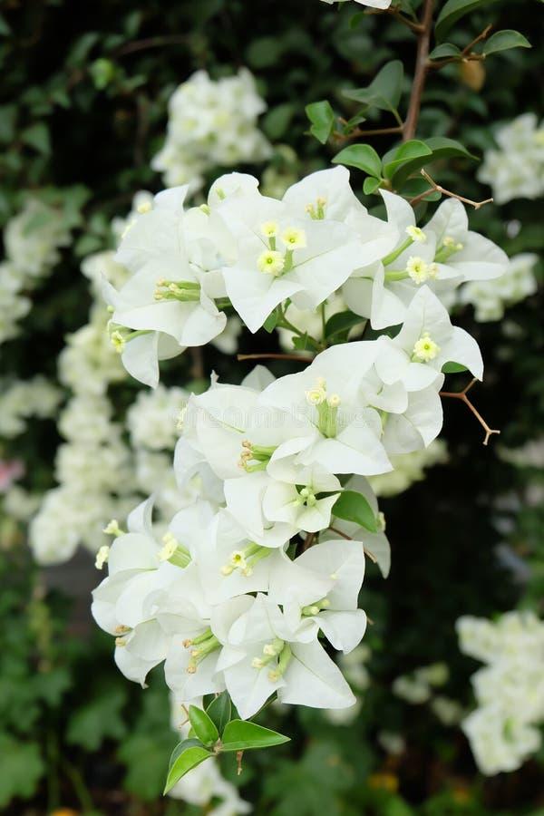 白色九重葛花在泰国 库存照片