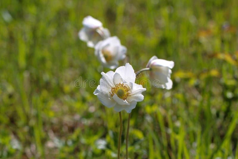 白色五叶银莲花花,作为春天的第一个标志在森林里 免版税库存照片