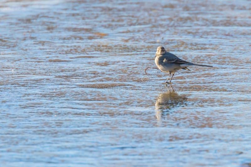 白色令科之鸟,逗人喜爱的小的鸟Motacilla晨曲在冰,冻结的池塘冬天 库存照片
