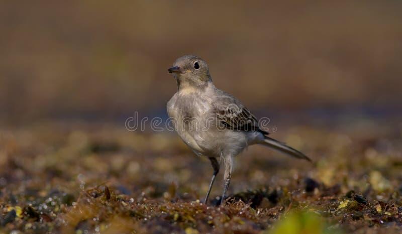 白色令科之鸟-晨曲的Motacilla -少年鸟 免版税库存图片