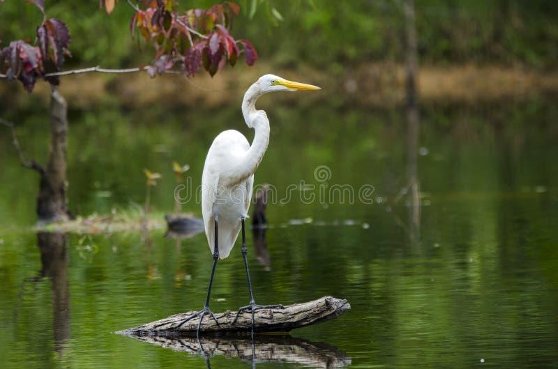 白色伟大的白鹭涉水鸟 图库摄影