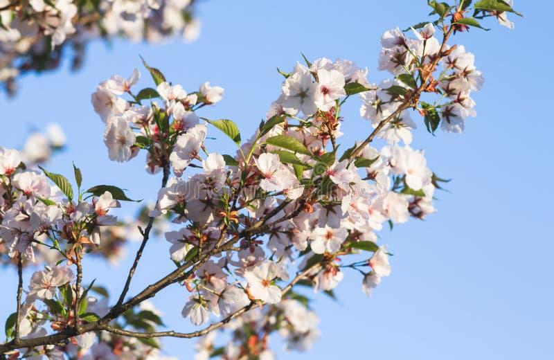 白色佐仓花开花 日本樱桃树在庭院,春天里 库存图片