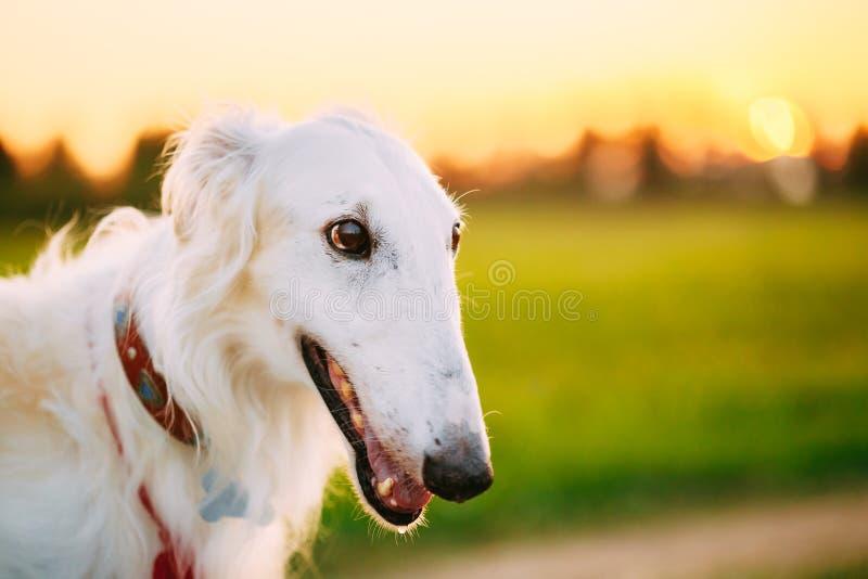 白色俄国狗,俄国猎狼犬,在夏天日落日出的猎犬 免版税库存图片