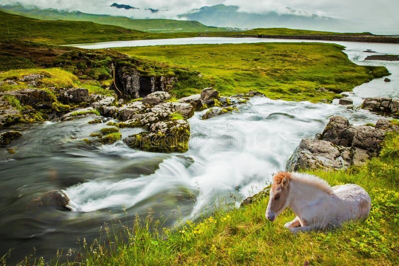 白色光滑冰岛马 免版税图库摄影