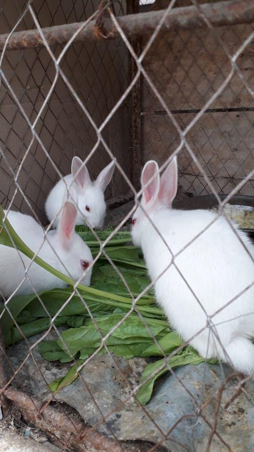 白色兔子吃 免版税库存照片