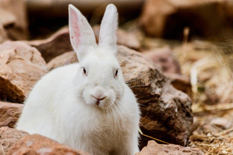 白色兔子在农场 库存图片