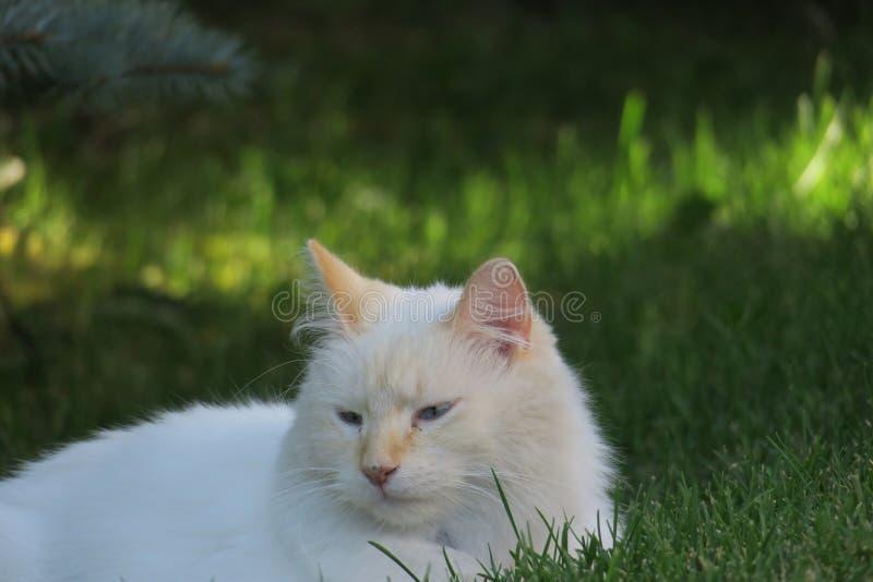 Download 白色全部赌注14 库存图片. 图片 包括有 猫叫声, 放置, 疲乏, 空白, 毛茸, 全部赌注, 颊须, 宠物 - 59100981