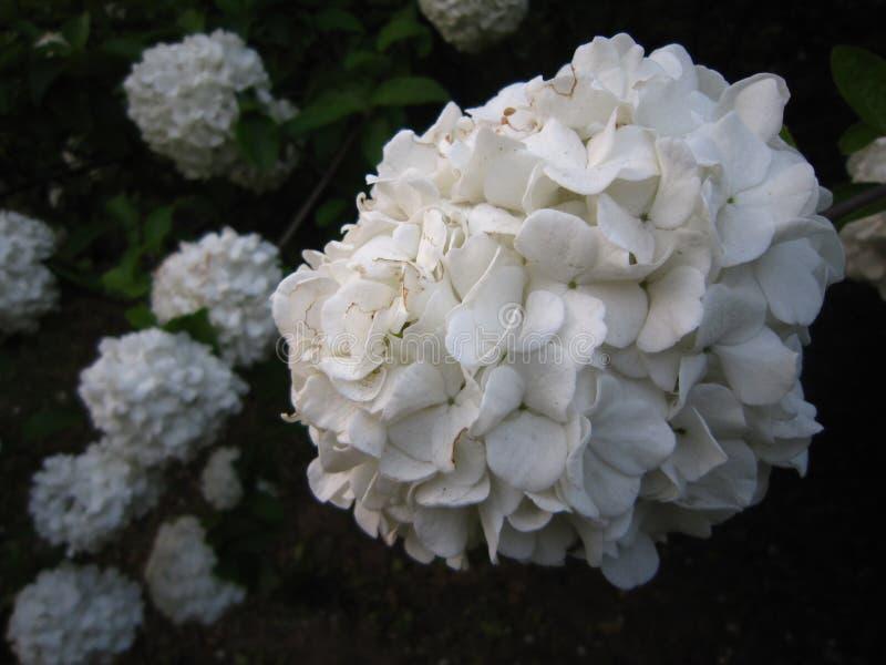 白色八仙花属在庭院里 免版税图库摄影