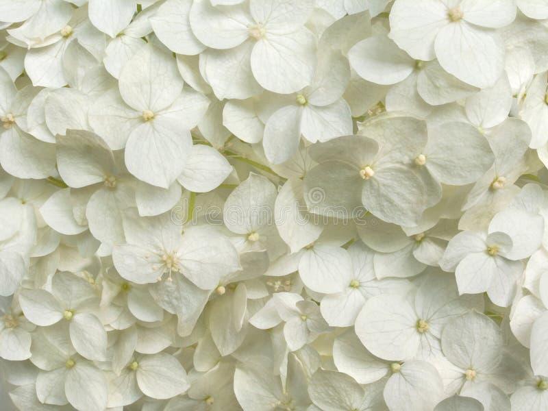 白色八仙花属开花浪漫花卉背景 库存照片