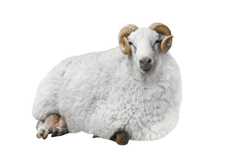 白色公羊 图库摄影