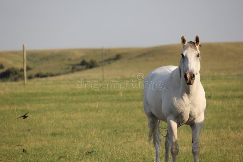 白色公马 免版税库存图片