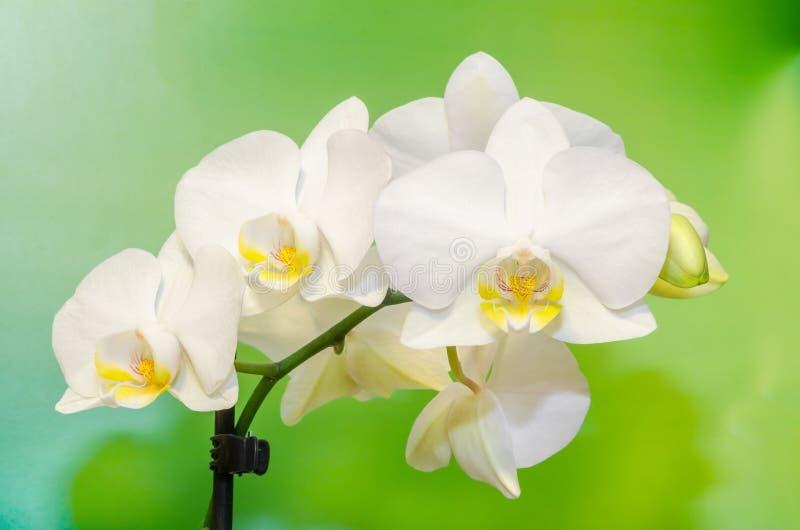 白色兰花分支开花,兰科,叫作蝴蝶兰的兰花植物,省略的Phal 绿灯bokeh 库存照片