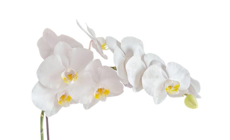 白色兰花分支花,兰花植物隔绝在白色backg 免版税图库摄影
