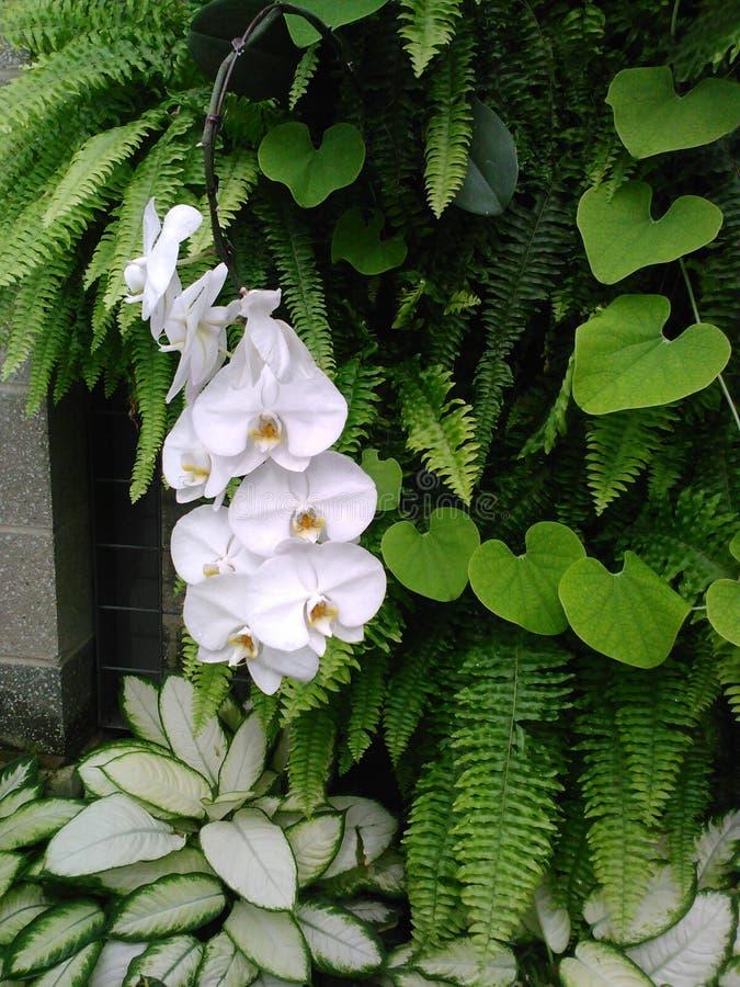 白色兰花在蝴蝶观测所 图库摄影