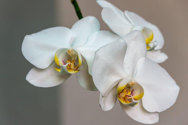 白色兰花植物兰花花分支特写镜头  叫作蝴蝶兰或Phal的花在浅灰色 免版税库存照片