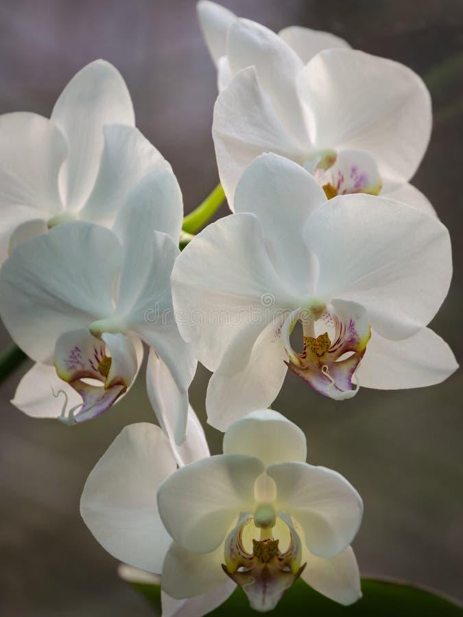 白色兰花植物兰花花分支美丽的特写镜头  叫作蝴蝶兰或Phal的兰花植物反对光 免版税库存图片