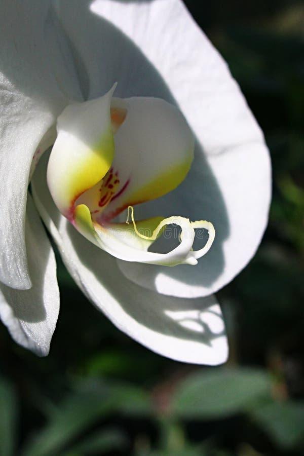 白色兰花植物蝴蝶兰花的中心部分细节  图库摄影