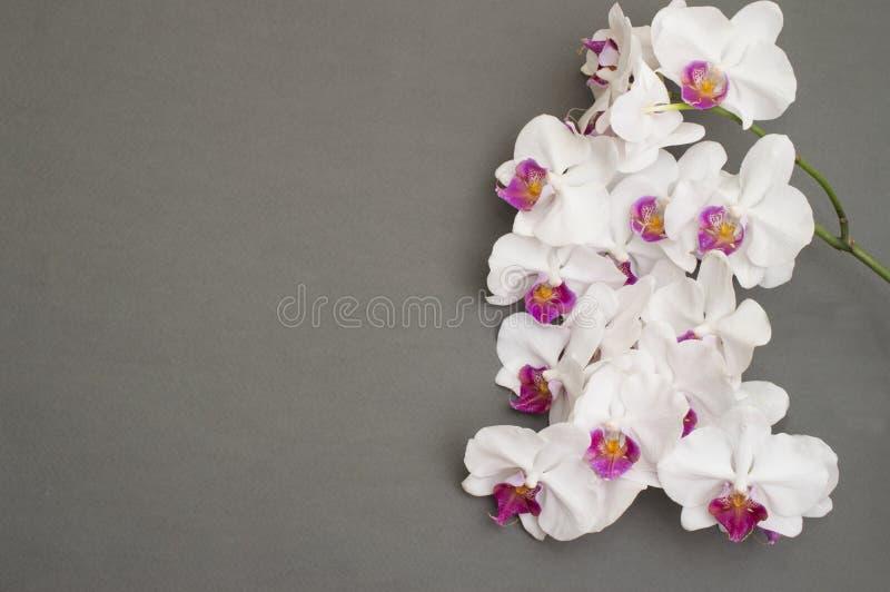 白色兰花浪漫分支在灰色背景的 库存照片