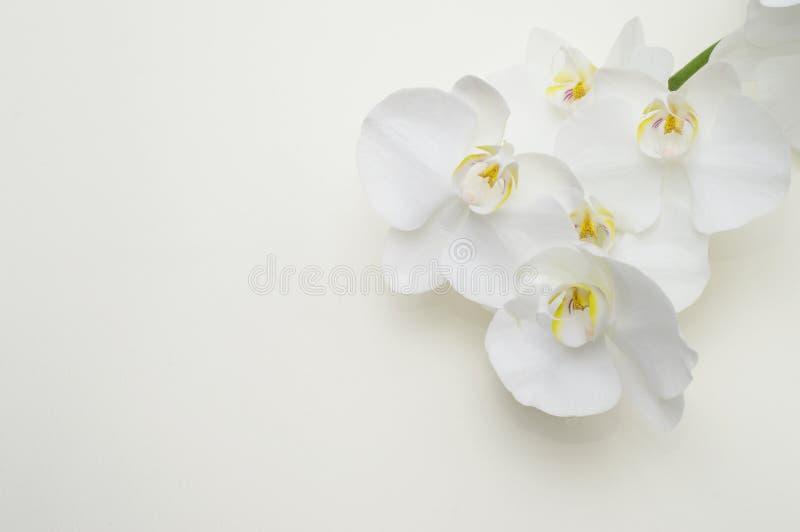 白色兰花浪漫分支在米黄背景的 库存照片