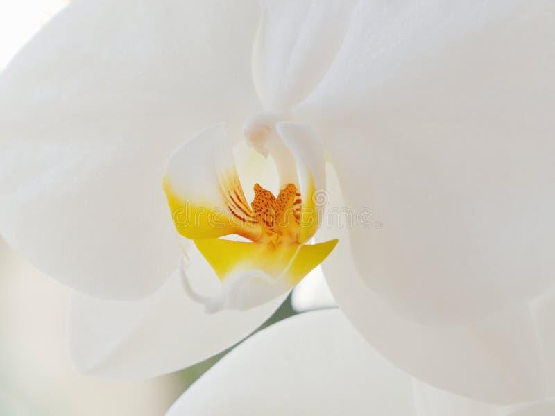 白色兰花Phalenopsis,花的黄色中心的细节 免版税库存图片