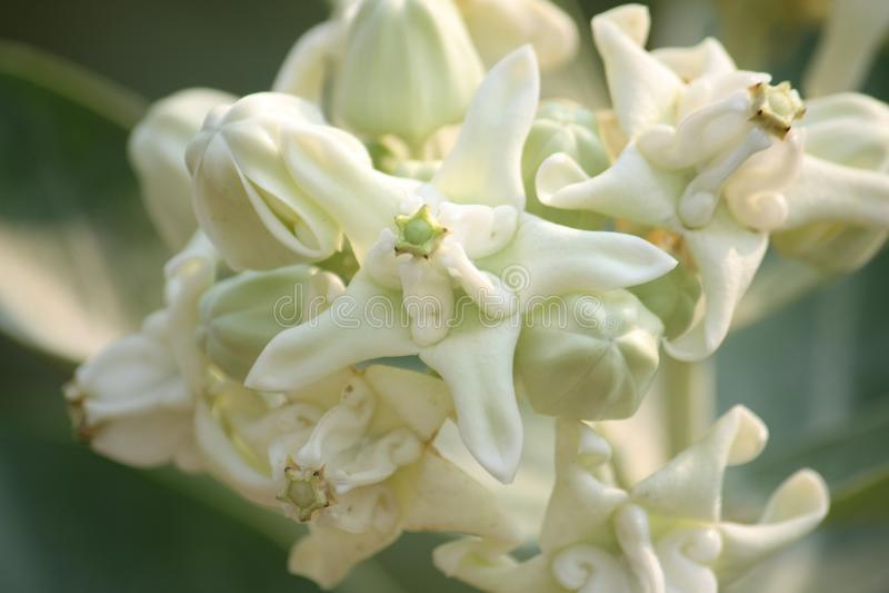 白色冠开花(Calotropis giantea),热带花 库存图片