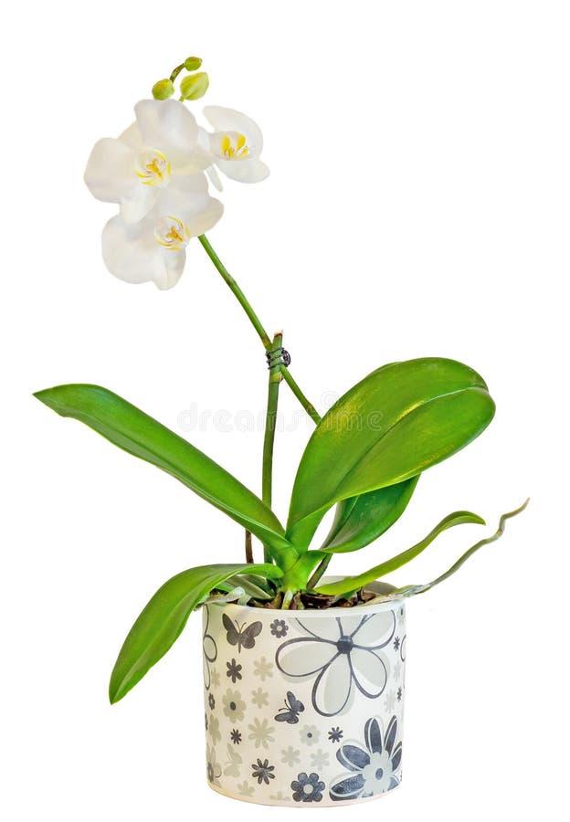 白色分支兰花开花与芽,兰科,叫作蝴蝶兰的兰花植物 图库摄影