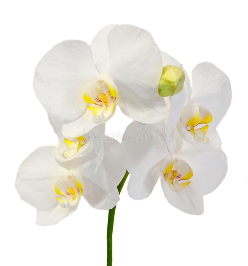 白色分支兰花开花与芽,兰科,叫作蝴蝶兰的兰花植物 免版税库存照片