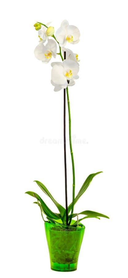 白色分支兰花开花与绿色叶子,兰科,叫作蝴蝶兰的兰花植物,省略的Phal 免版税库存照片