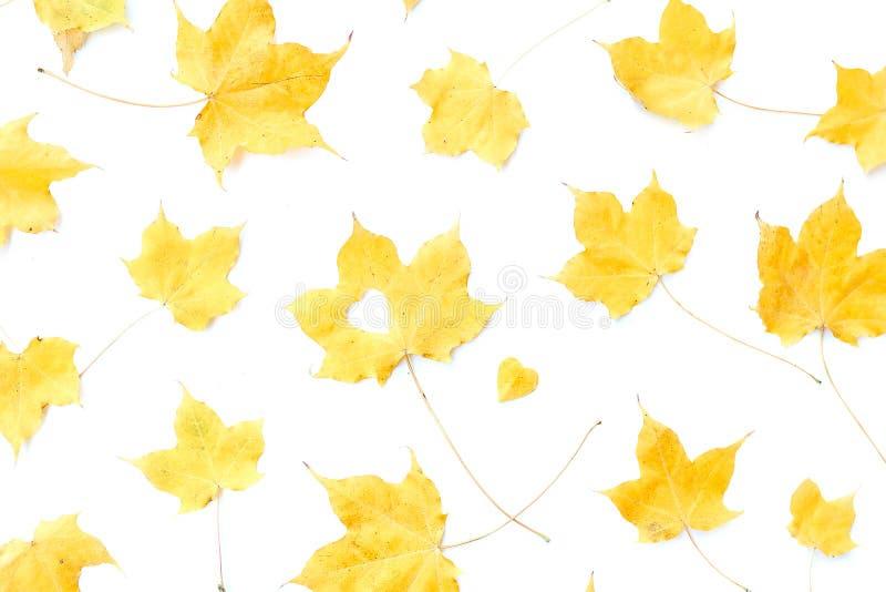 白色分离的枫叶 库存图片