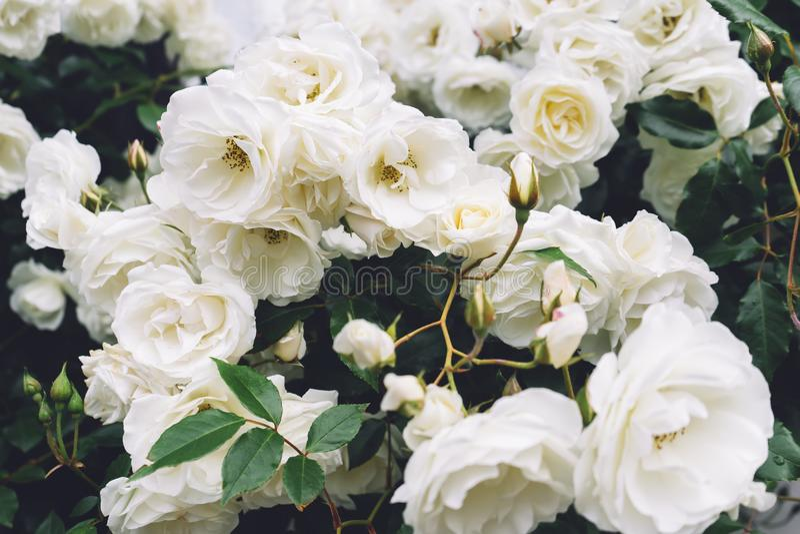 白色分蘖性结辨的玫瑰在石老房子特写镜头背景的庭院里在一个晴朗的夏日,精美花的芽p的 免版税库存照片
