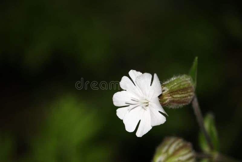 白色剪秋罗Silene latifolia在多数生长特殊开放栖所、荒原和领域 从晚春的开花的为时 库存照片