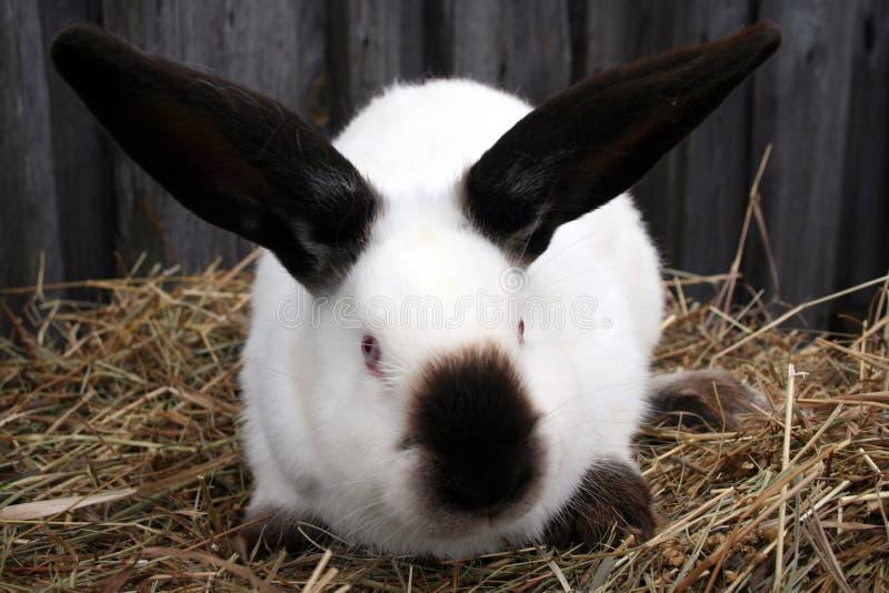 白色加利福尼亚兔子 免版税库存照片