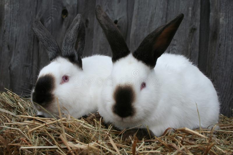 白色加利福尼亚兔子 图库摄影