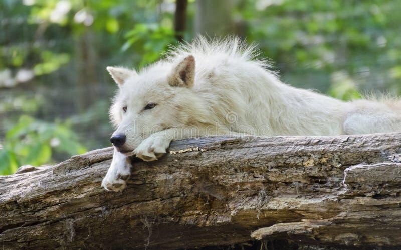 白色北极狼说谎 免版税图库摄影