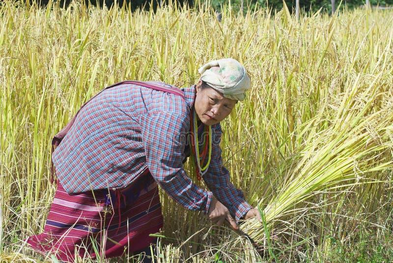 白色卡伦小山部落的妇女收获米在领域在清迈,泰国 库存图片