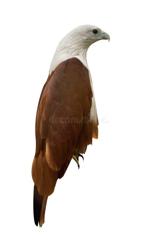 白色后院鸽子使用作为例证 免版税库存照片