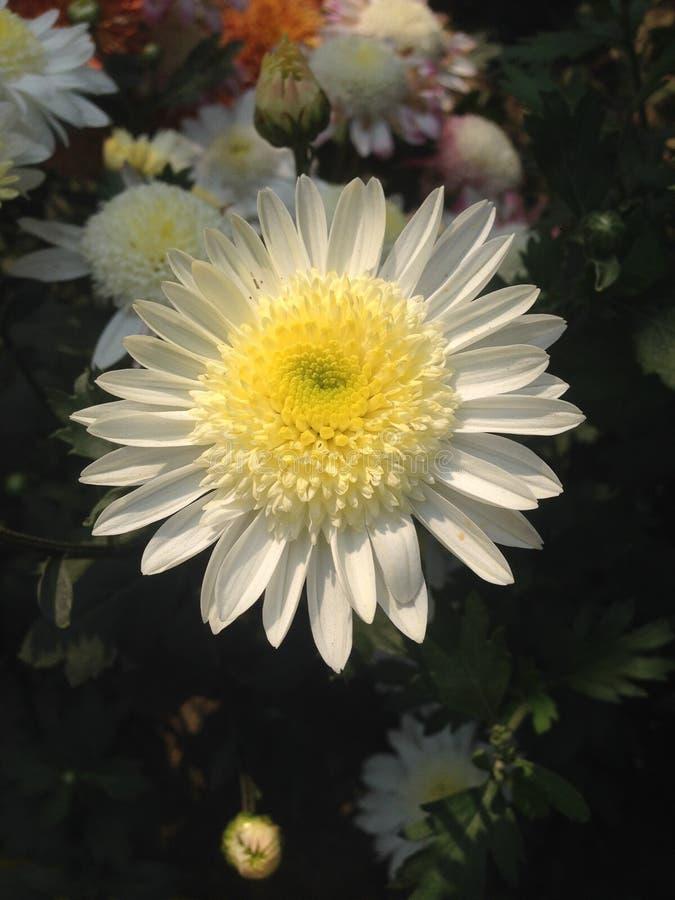 白色向日葵在庭院里 免版税库存照片