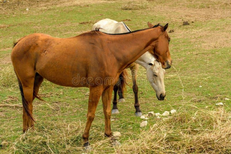 白色和一匹棕色马在农场 免版税图库摄影