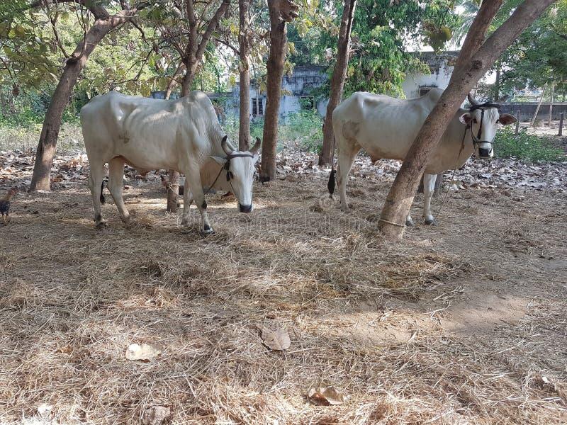 白色和大公牛 免版税库存照片