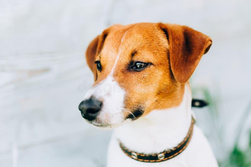 白色和布朗狗杰克罗素狗 被定调子的立即照片 免版税库存图片