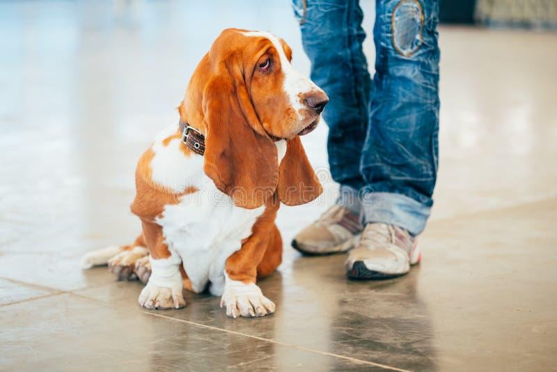 白色和布朗贝塞猎狗狗画象与 免版税库存图片