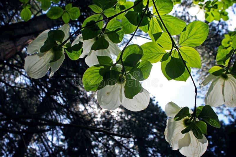 白色和平的山茱萸,优胜美地,优胜美地国家公园 免版税图库摄影