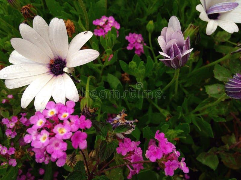 白色和桃红色塞浦路斯的花 免版税库存照片