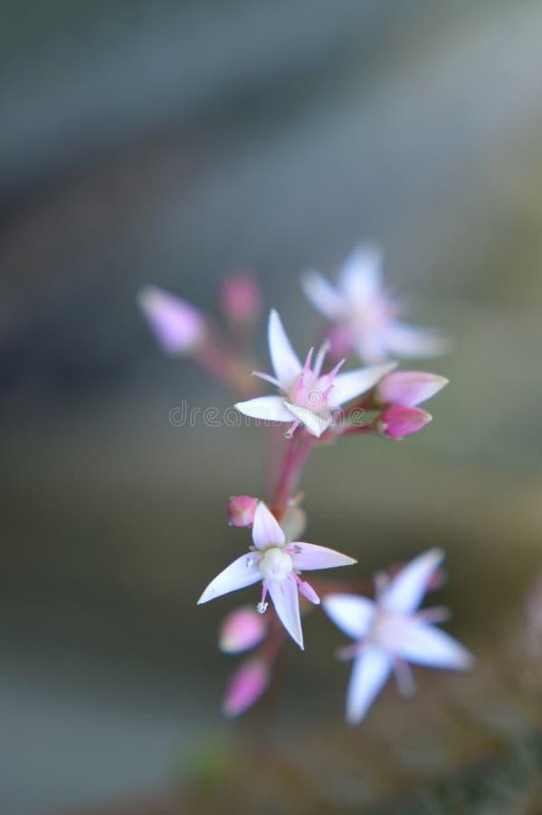 白色和桃红色微小的仙人掌花 免版税库存照片